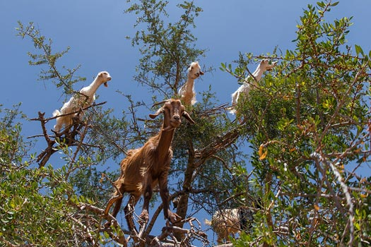Goats in Argan, Morocco. Photo: www.SuperCar-RoadTrip.fr