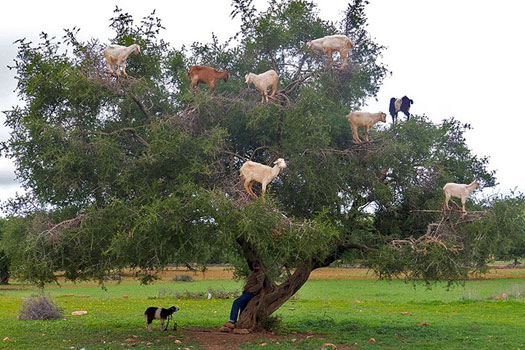 Tree-roosting goats. Photo: Ken Feisel