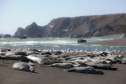 Harbor Seals and Seagulls at the mouth of the Russian River, in Bodega Bay, California. Photo: David Sifry