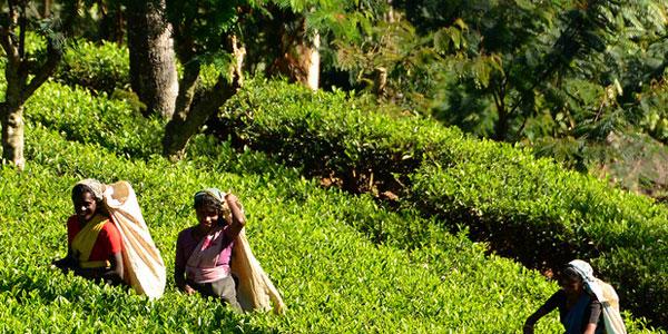 Teapickers at Nuwara Eliya, Sri Lanka
