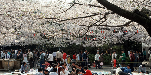 Many families picnic beneath blossoming cherry trees