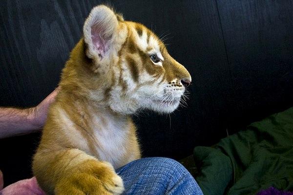New arrival in Australia... tiger cub