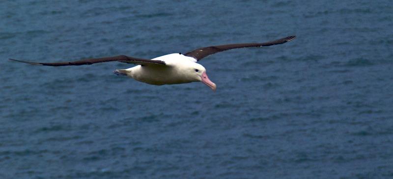 Royal Albatross Otago Peninsula New Zealand