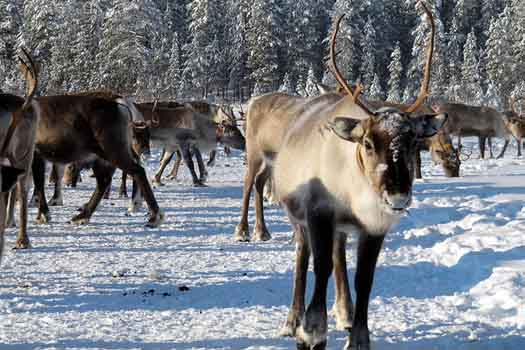 A chance to feed reindeer