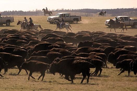 Buffalo Roundup Stampede