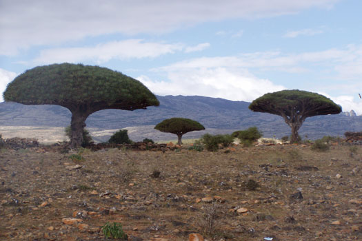 Dragon's Blood trees on the Socotra Archipelago