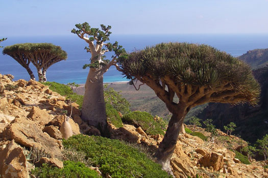 Two Dragon's Blood trees and a desert rose on the Homhil Plateau, Socotra