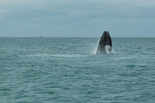 A southern right whale mid-breach, Hermanus, South Africa