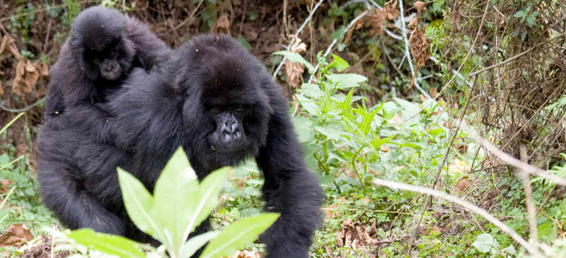 Gorilla - African wildlife encounters / bucket list experiences