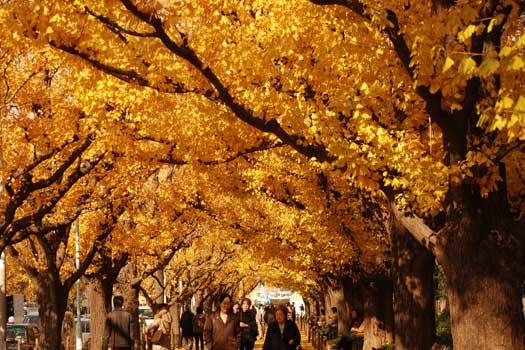 Walking under the Ginkgo trees in Tokyo