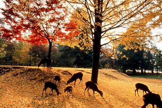 Deer at Nara Park, Nara Prefecture