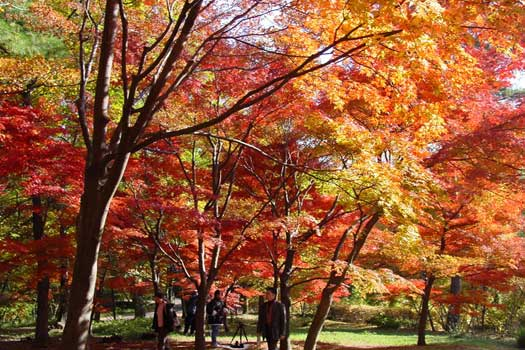 Walking among the Maple trees in Musashi Hillside National Government Park, Saitama Prefecture