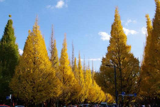 Ginkgo trees in Tokyo