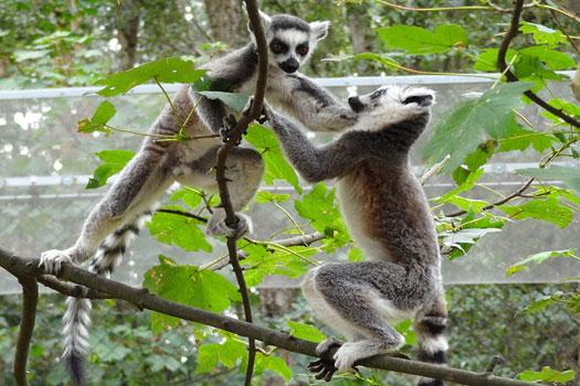 Lemurs at Yorkshire Wildlife Park, near Doncaster
