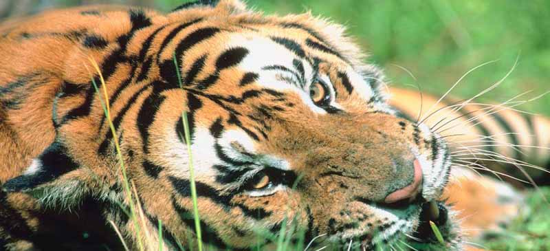 India's ban on tiger tourism has been lifted