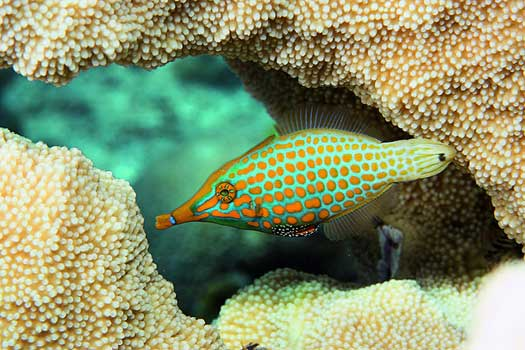 A Longnose Filefish feeding on coral in the Marshall Islands