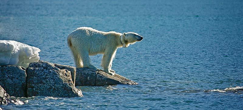 Polar bear, Svalbard - 5 epic voyages of the seas