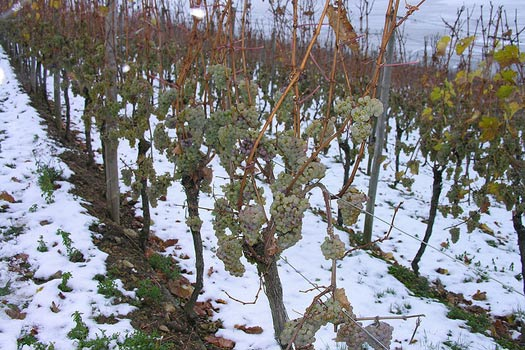 Frozen grapes on the vine - icewine
