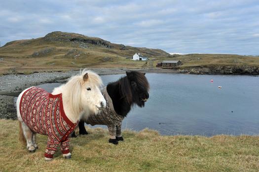 Shetland Ponies in Jumpers