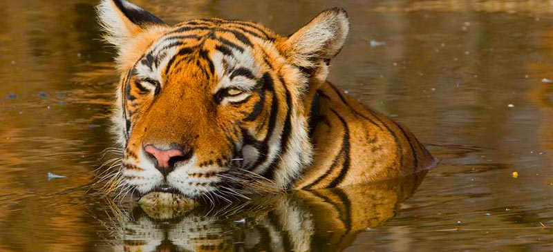 Ranthambore - Bengal tiger - top 5 Indian national parks