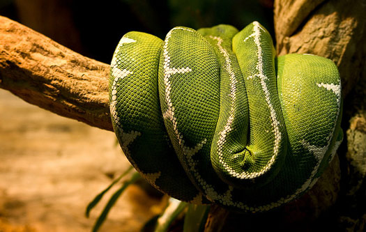 Emerald Tree Boa Snake at the Reptile House in London Zoo