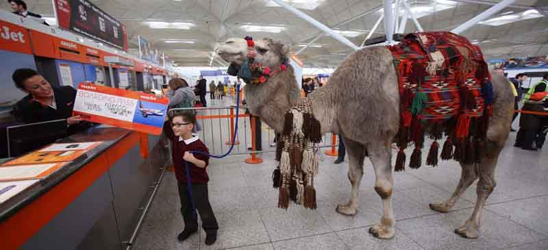 Don't get the hump... Camel visits Stansted