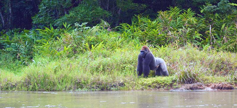 Gorilla Western Lowland gorilla adventure - Republic of Congo