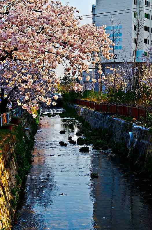 Jinhae, South Korea - Top 5 places to see cherry blossoms