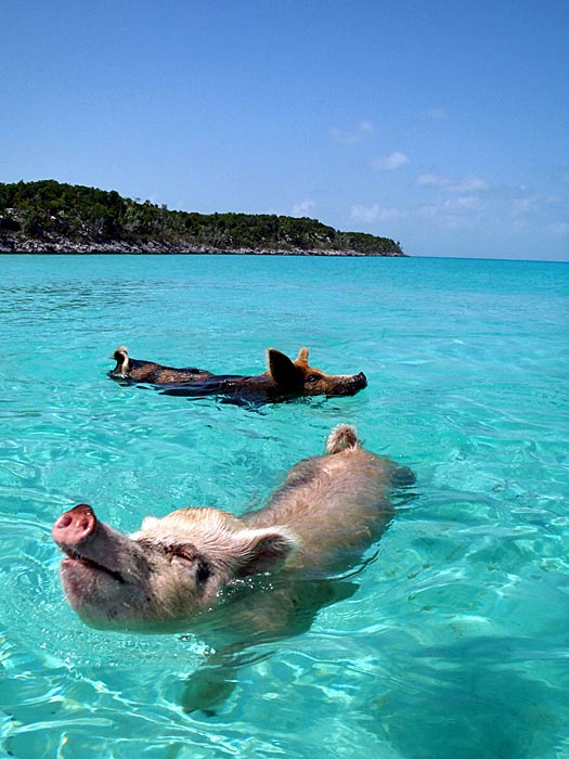 Swimming pigs, The Bahamas. Photo by cdorobek