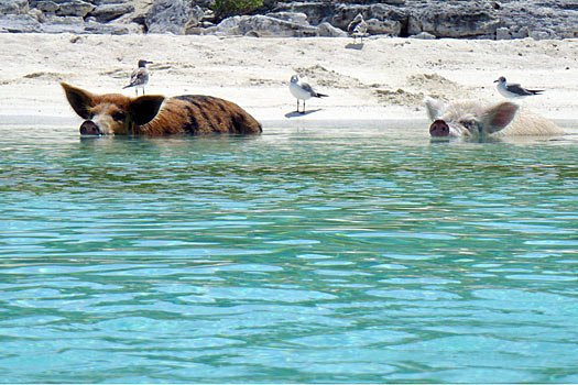 Nobody knows how the pigs came to island, but they have become a popular tourist attraction. Photo by cdorobek