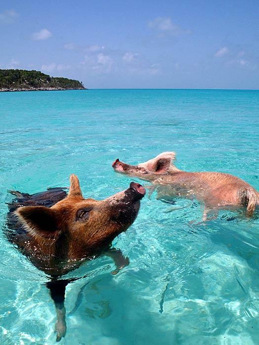 Happy as a pig in water. Photo by cdorobek