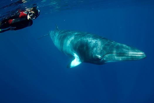 Minke Whale swim