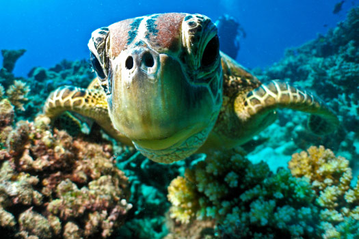 Meet the locals when you dive the Great Barrier Reef. Photo by Marc Füeg