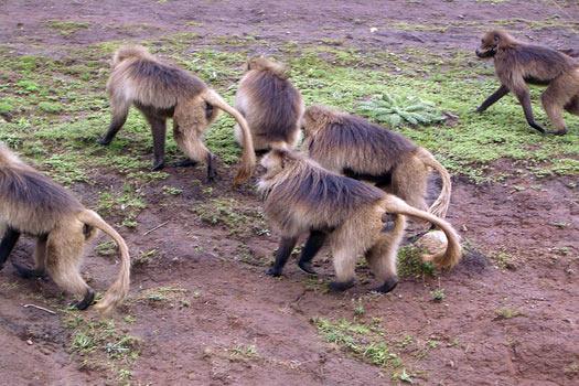 Bleeding heart baboons, Ethiopia