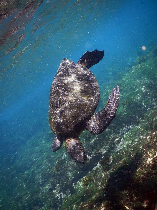 Green turtles, Galapagos