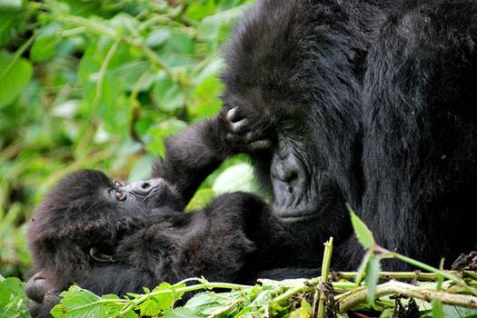 Mountain gorillas, Rwanda and Uganda