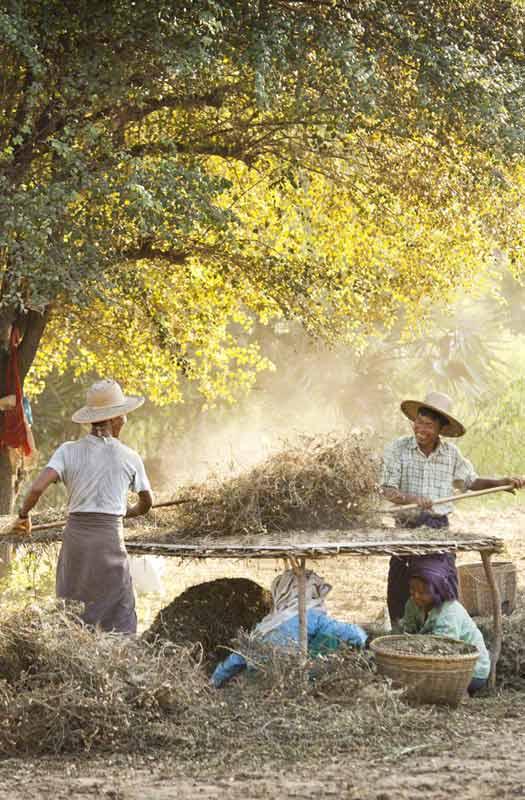 Groundnut harvest near Bagan, Burma