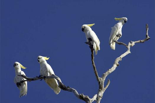 Cockatoos at Bamarru Plains. Photo by Bamurru Plains