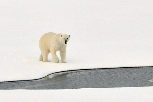 Polar Bear, the Arctic