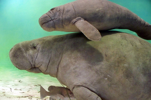 Manatees in Florida. Photo by psyberartist