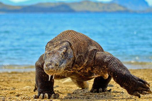 Komodo Dragon, Komodo National Park. Photo by Adhi Rachdian