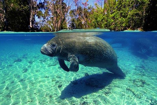 Florida manatee. Photo by ASCOM