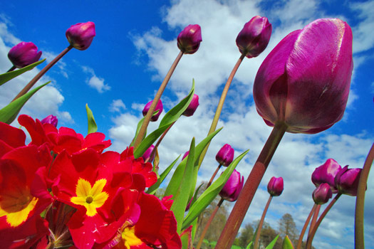 Tulips, Kew Gardens, London. Photo by Marcus Holland-Moritz