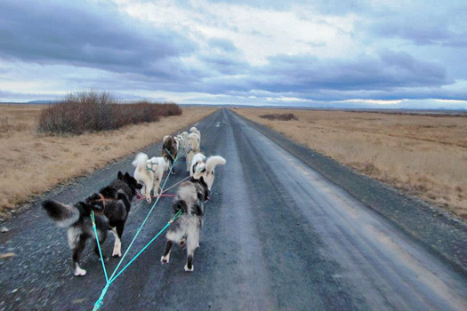 On the road with the dogs, Dogsledding Iceland. Photo by Kara Segedin