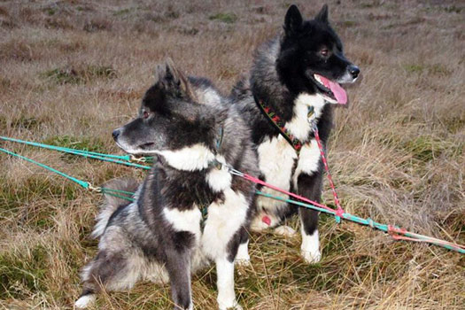 A bit of sibling rivalry between these two at Dogsledding Iceland. Photo by Kara Segedin