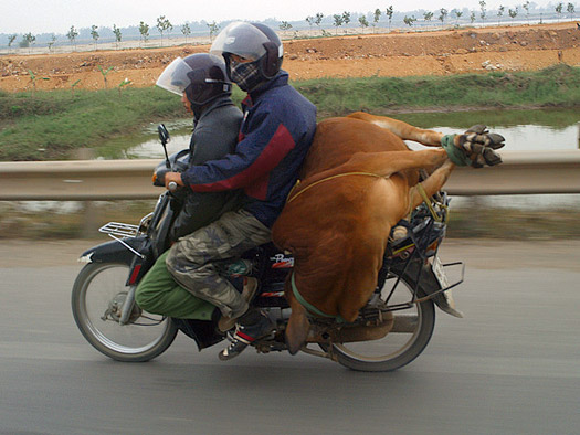 This is obviously the best way to transport a cow. Photo: Ofer Deshe
