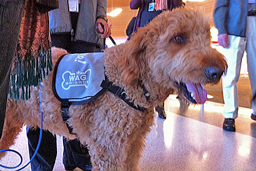 Member of the Wag Brigade at SFO. Photo by flysfo.com