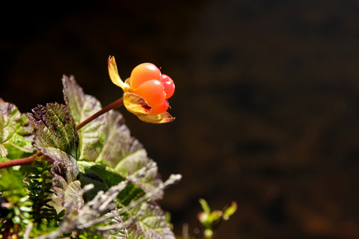 The Finnish Cloudberry. Photo by Jan Hammershaug