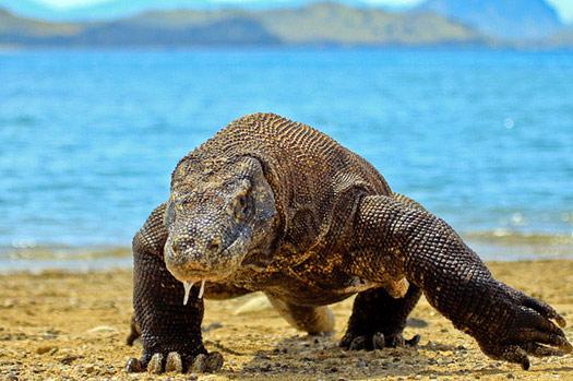 The Komodo dragon (Varanus komodoensis) found in the Indonesian islands of Komodo, Rinca, Flores, and Gili Motang