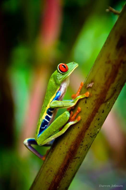The Red-Eyed Leaf (Tree) Frog of Costa Rica. Photo: Darren Johnson